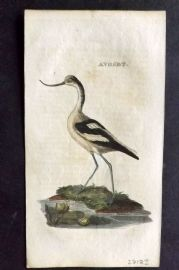 Brightly (Pub) 1815 Hand Col Bird Print. Avoset